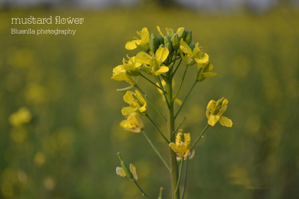 Mustard Flower , Assam